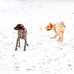 Frodo, Keltoi, Woody and Ruben playing in snow