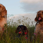 My Canine Companions past and present