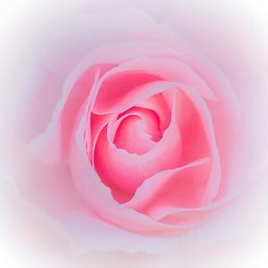 rose, pastel pink