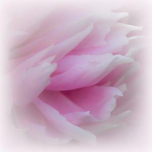 peony, pink