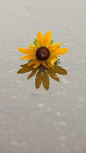 single flower, reflected