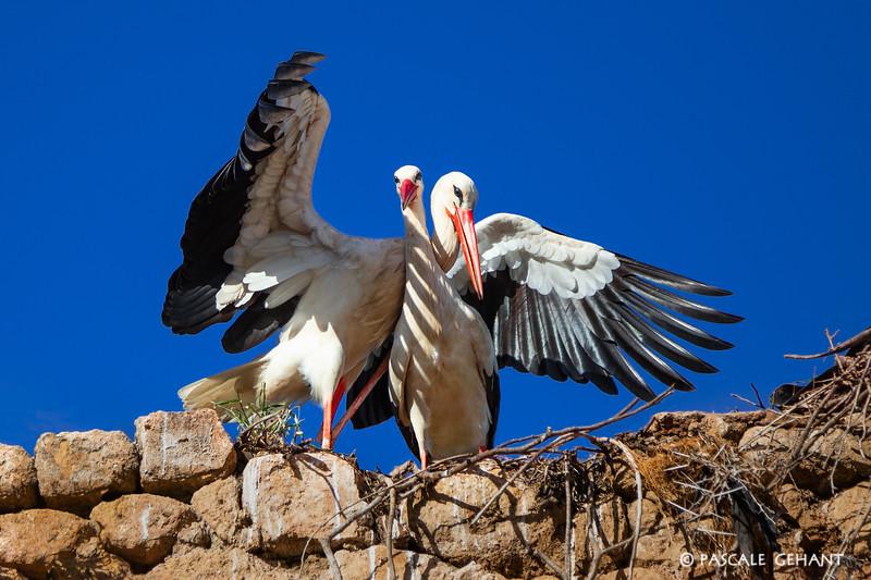 Storks in love 1