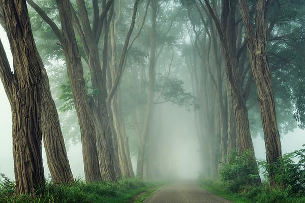 Acacias in the fog