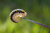 Caterpillar balancing on a knife blade.