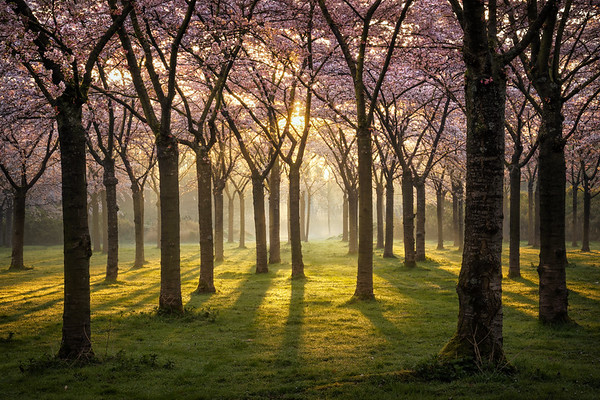 The cherry trees
