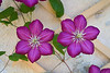 A Pair of Clematis Flowers