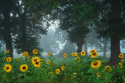 Sunflowers and tree on a foggy morning