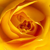 Macro Portrait of a Yellow Rose centre.