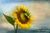 Sunflower & Bumble