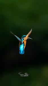 """Archangel"" Kingfisher"