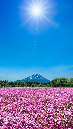 Diamond Fuji Shibazakura