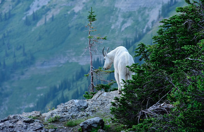 Mountain Goat Surveying his Domain