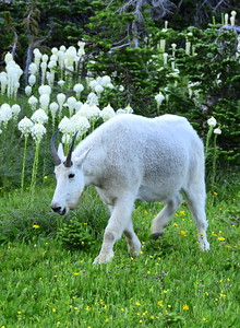 Mountain Goat & Beargrass