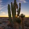 Cactus Sunstar