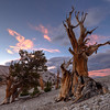 Bristlecones at Sunset, Patriarch Grove, White Mountains, CA