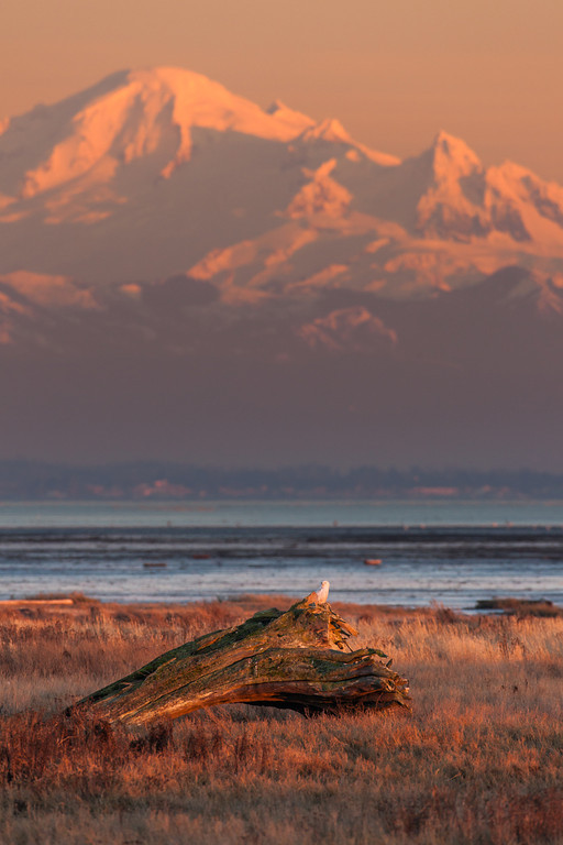 Snowy Owl and Mt. Baker