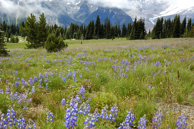 Lupine and Base of Mt Rainer