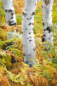 Fern and Aspen Trunks 1