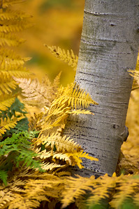 Fall Aspen and Fern