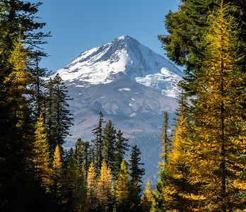 Mt Hood Oregon, with yellow tamaracks in peak color