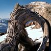 Whitebark Pine at Treeline, Mt. Shasta, California