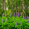 Lupines in the Forest
