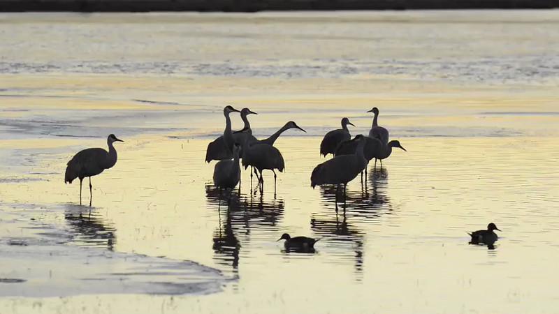 Sandhill Cranes at Sunset - Crane Pond, Bosque Del Apache NWR, New Mexico