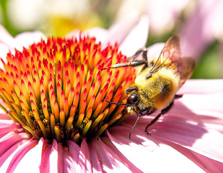 Bee Feeding on Flower, Naper Settlement, Naperville, Illinois