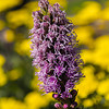 Thanks to my friend Patrick for telling me what kind of flower this is. It is called Liatris Spicata.