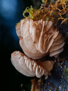 Gills of mushrooms growing on wood