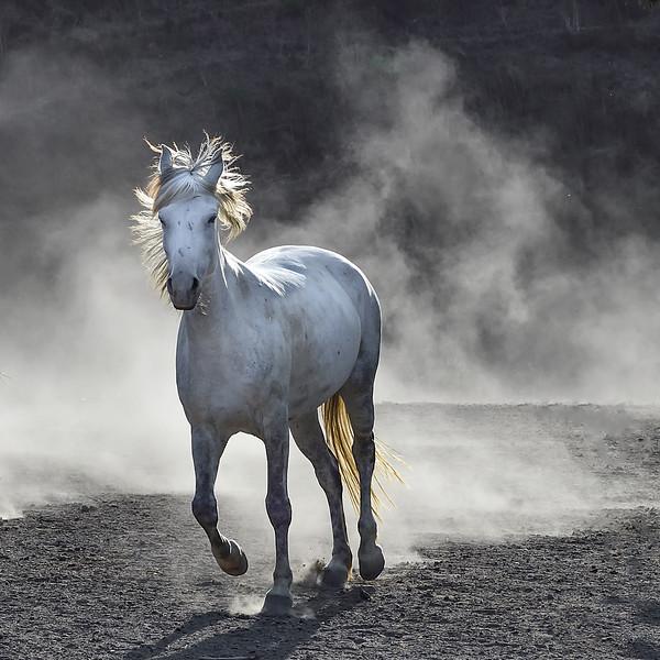 Mustang - Heather
