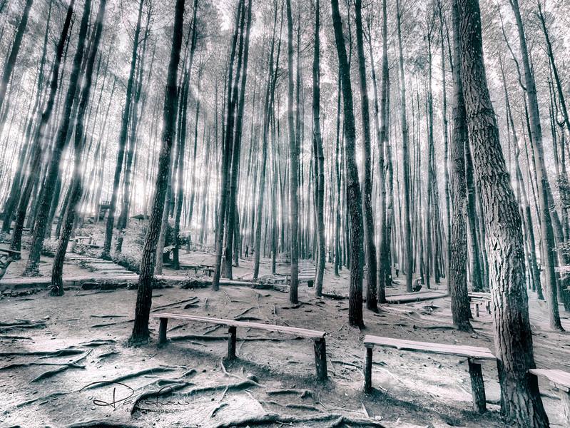 Pine Forest Mangunan (Hutan Pinus Mangunan), 7.51am