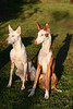 001- Naboo and Kashyyk, my Ibizan Hounds