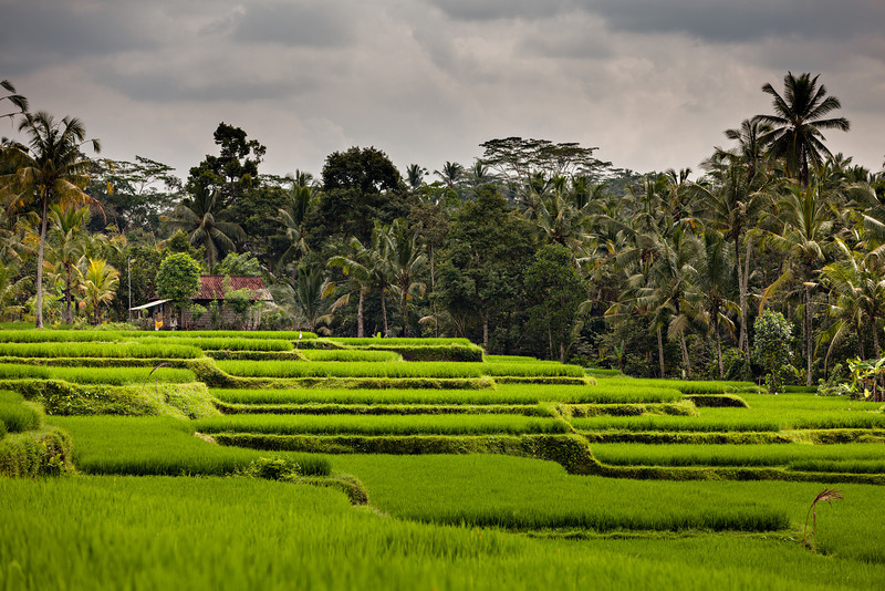"""""""Bali Rice Paddies""""<br /> A view of rice terraces and a farmer's house, near Ubud, in Bali, Indonesia."""