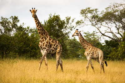 Mother Giraffe Walking with Her Calf in the Bushveld