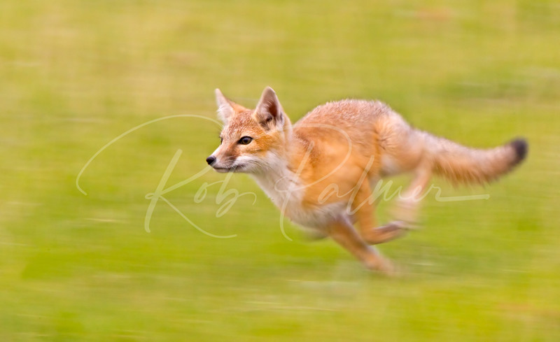 The reason they are called Swift Fox
