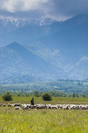Sheepherder, Transylvania, Romania