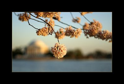 Cherry Blossom, Tidal Basin, Washington DC