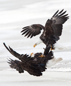 Battling Eagles