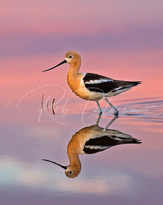 American Avocet in Pastel