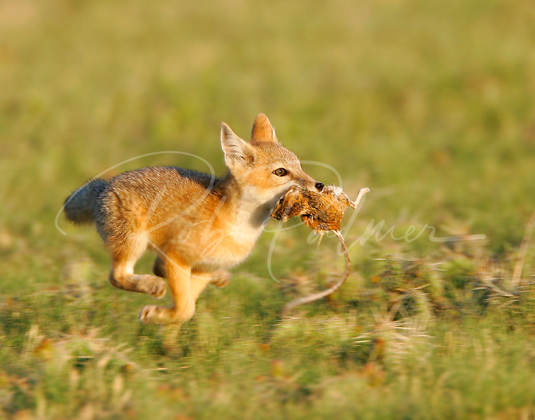 Swift Fox Kit with Kangaroo Rat