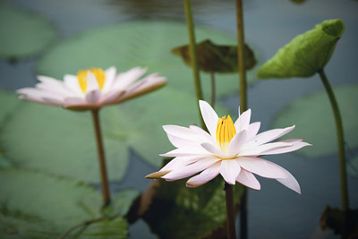 Lotus Flowers, Bali