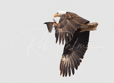 Eagle and Starling