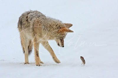 Coyote and Vole II 1018