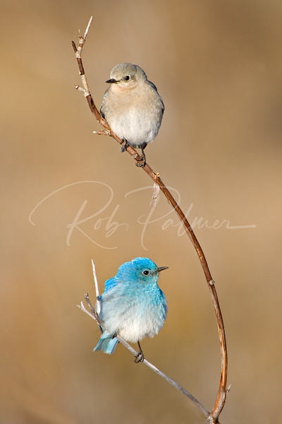 Mountain Bluebirds (male on the bottom and female on top)