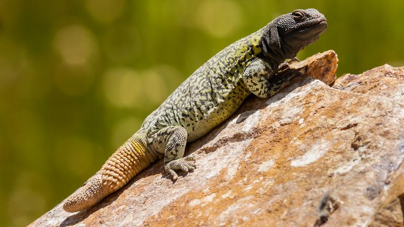 Aconcagua Lizard
