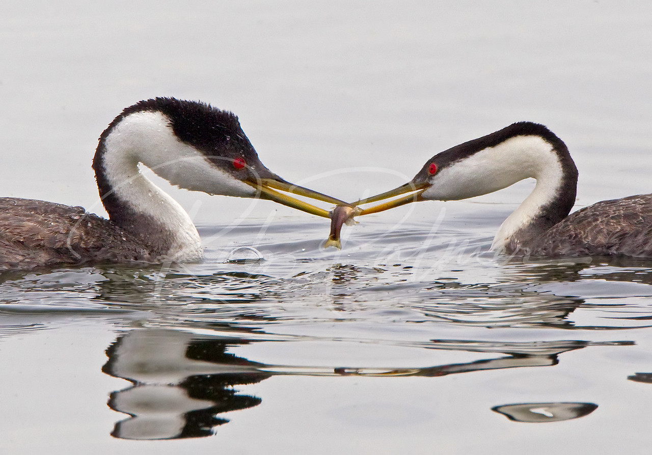 A Pair of Western Grebes 7561