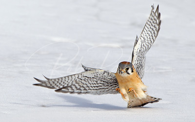 American Kestrel about to nab his dinner!