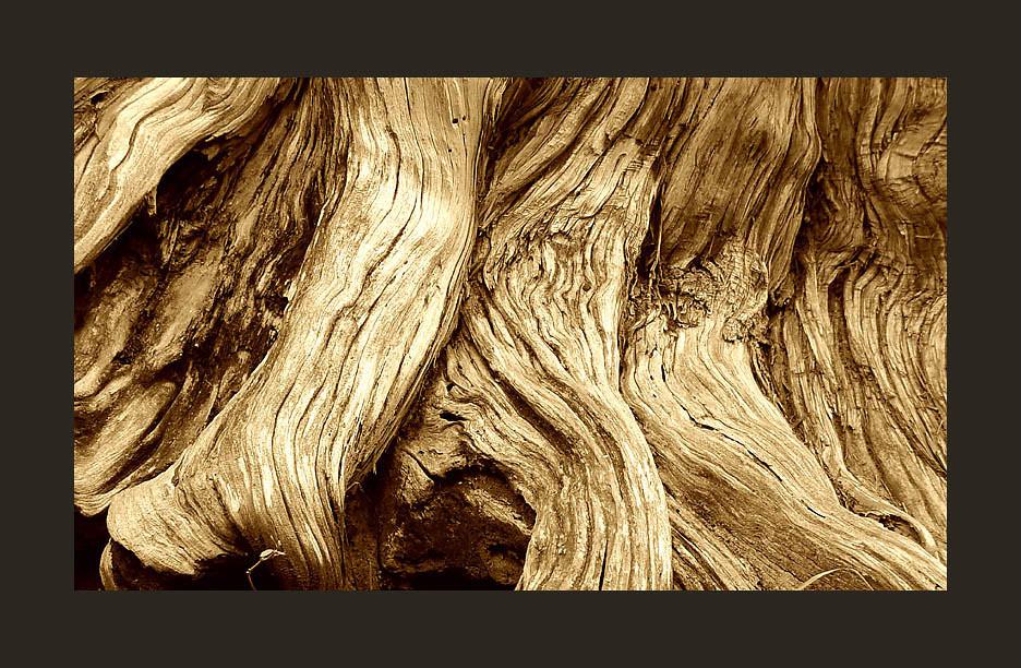 Detail of Old Arbor Vitae Tree, Natural Bridge, Virginia