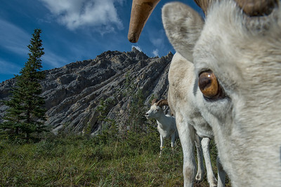 Dall sheep at mineral lick on the Wind River in the Yukon Territory.